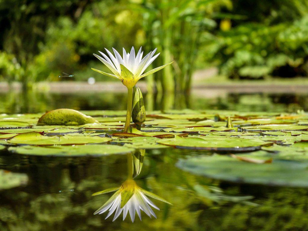 Seerosen und Wasserlilie